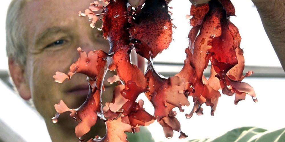 """สวรรค์ของคนกินคลีน! เมื่อพบสาหร่ายสีแดงนำมาทอดแล้วรสชาติเหมือน """"เบค่อน"""""""